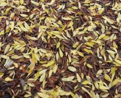 ザリガニ 枯葉