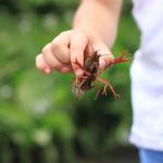 ザリガニの飼育と繁殖