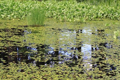 ザリガニ 食べる 水草