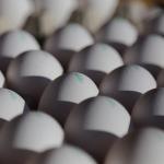 ザリガニにとって上質な餌である卵の殻